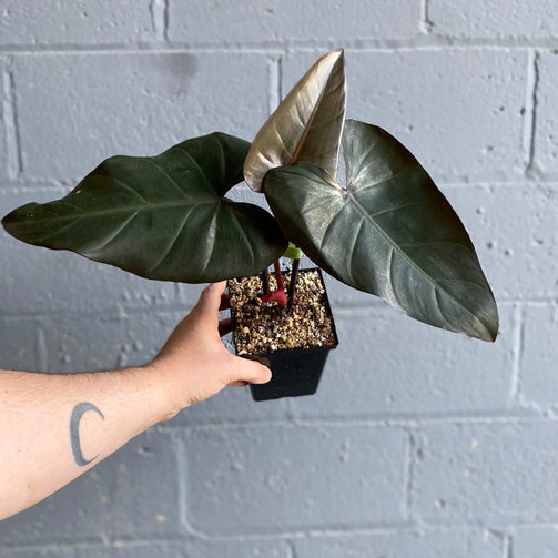 Philodendron 'Dark Lord' - House of Monstera Toronto Canada