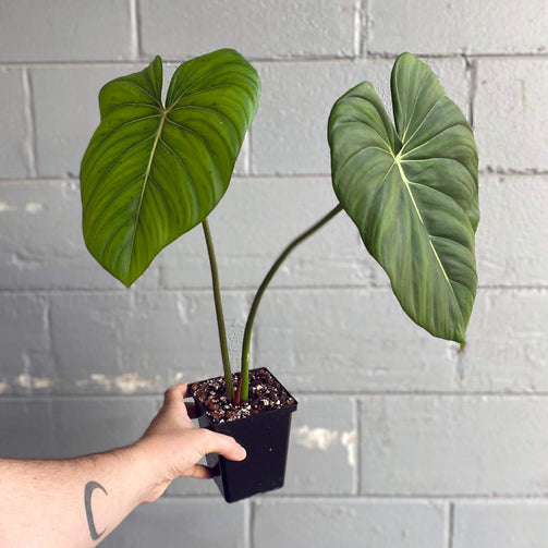 Philodendron pastazanum - House of Monstera Toronto Canada