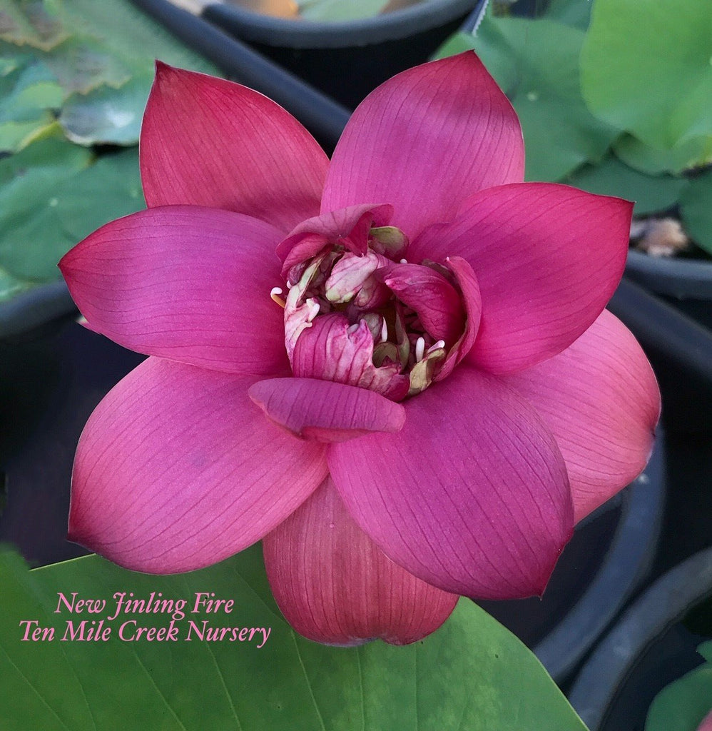 2020 New Jinling Fire - Ten Mile Creek Nursery