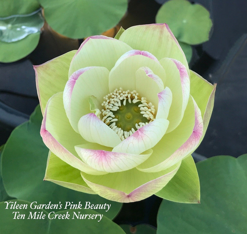 2020 Pink Beauty - Ten Mile Creek Nursery