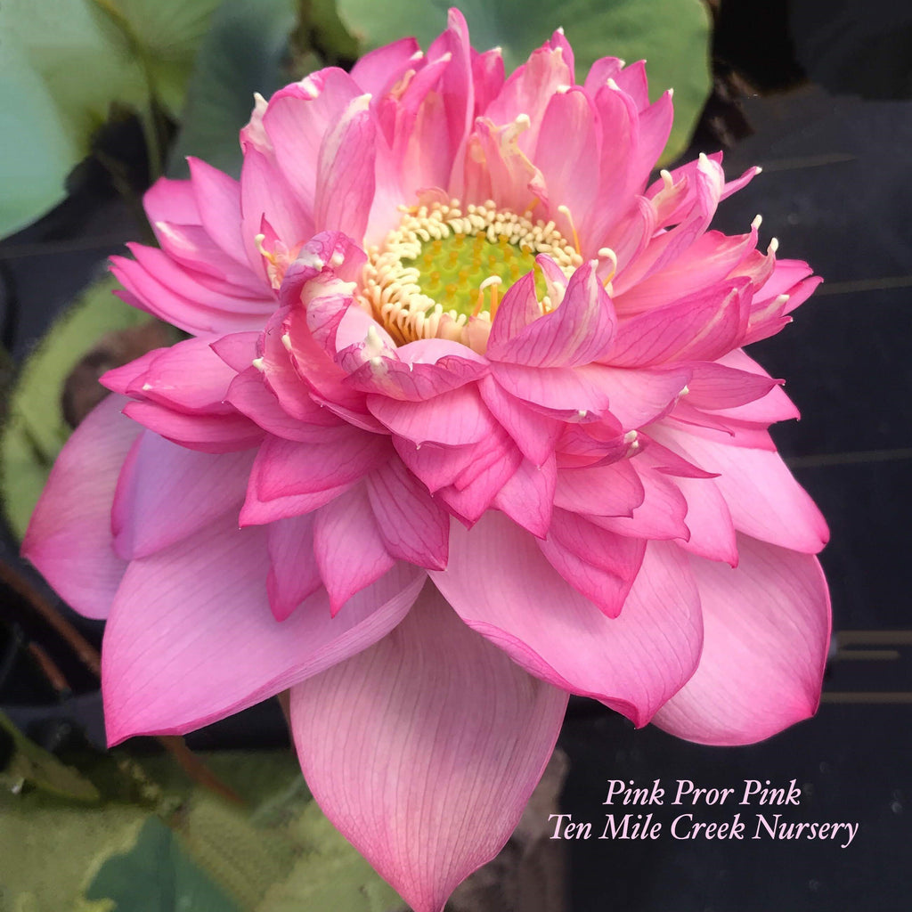 2020 Pink Symphony (Pink Pror Pink) - Ten Mile Creek Nursery