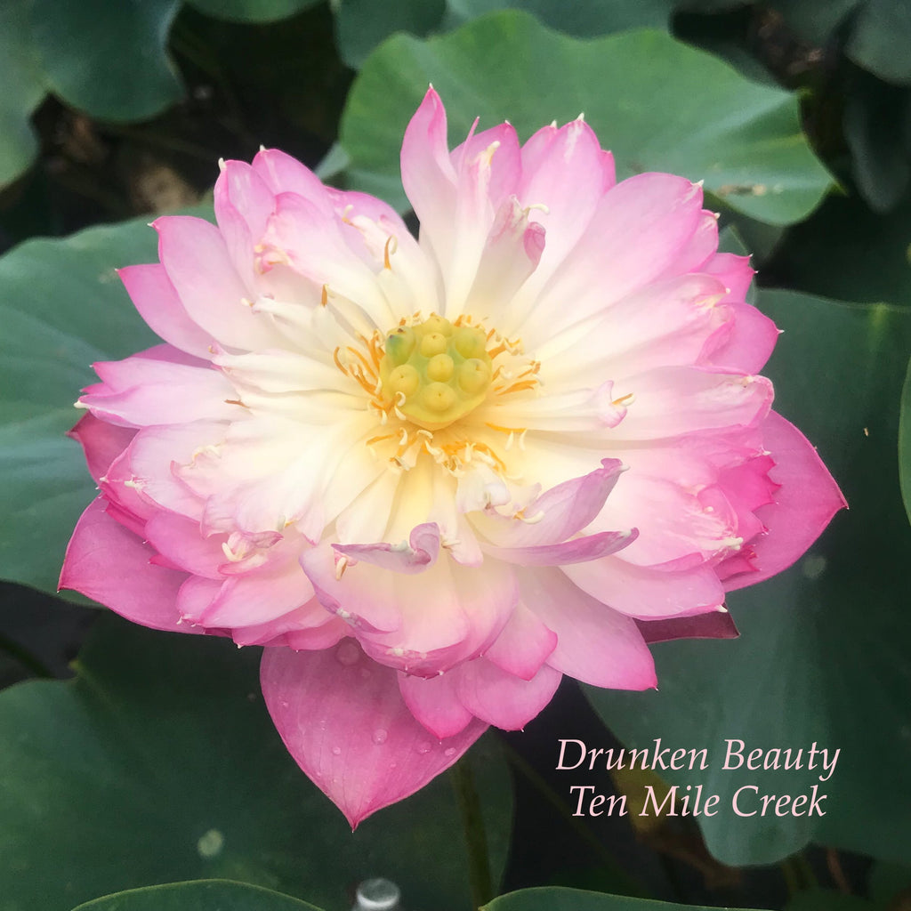 2021 Drunken Beauty - Ten Mile Creek Nursery