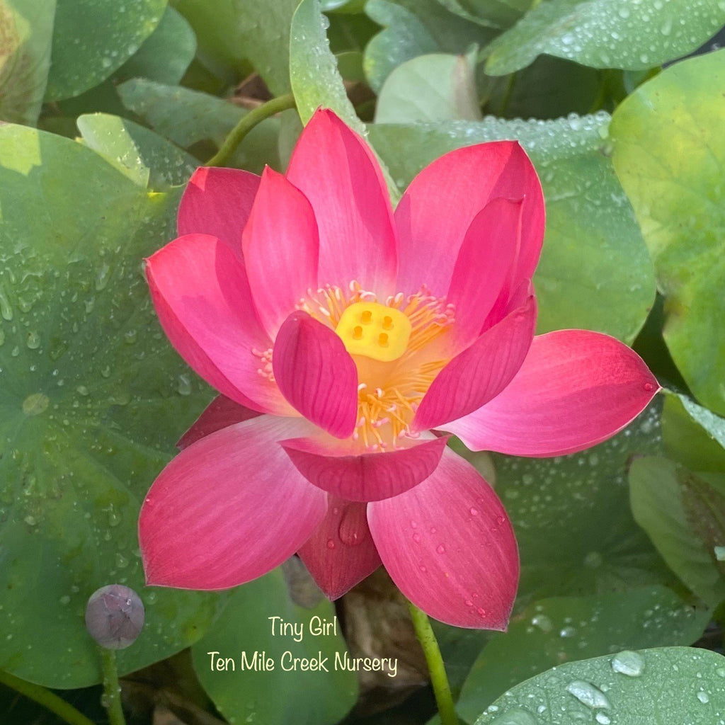 2021 Tiny Girl - Exquisite of Bowl Lotus - Ten Mile Creek Nursery