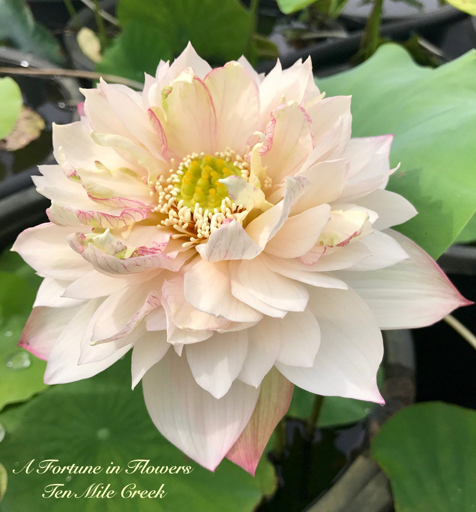 A Fortune in Flowers - Ten Mile Creek Nursery
