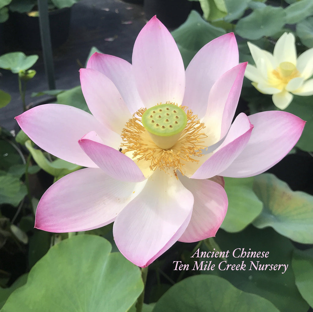 Ancient Chinese Lotus - Ten Mile Creek Nursery