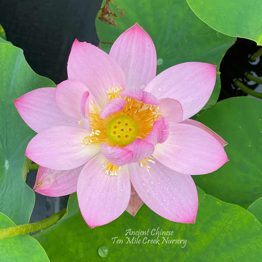 Ancient Chinese Lotus - Huge Flowers! - Ten Mile Creek Nursery