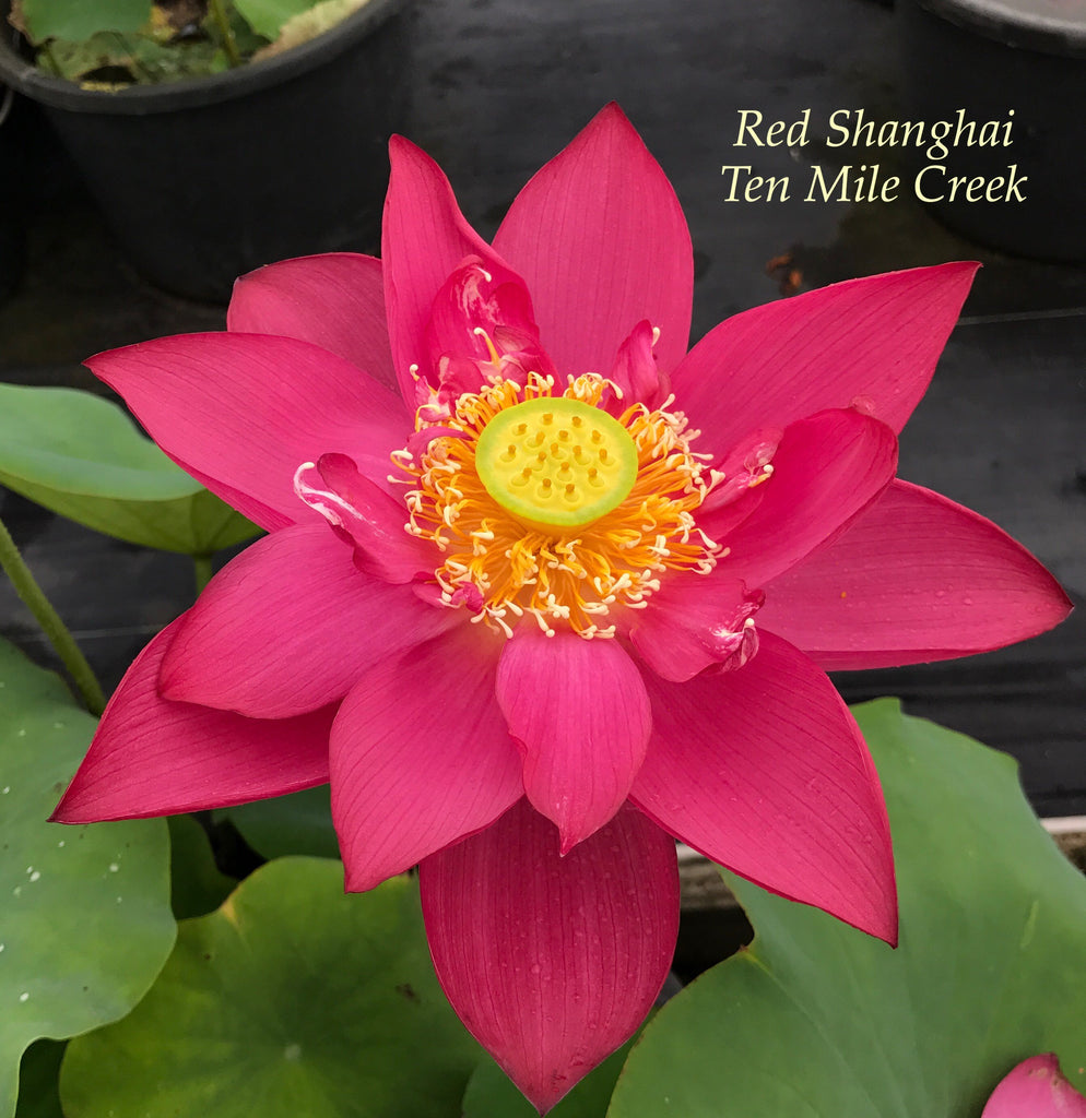 Chinese Red Shanghai - Ten Mile Creek Nursery