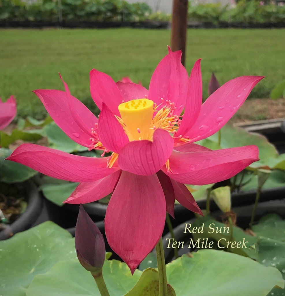 Chinese Red Sun 14B - Ten Mile Creek Nursery