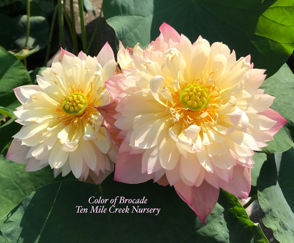 Color of Brocade - Ten Mile Creek Nursery