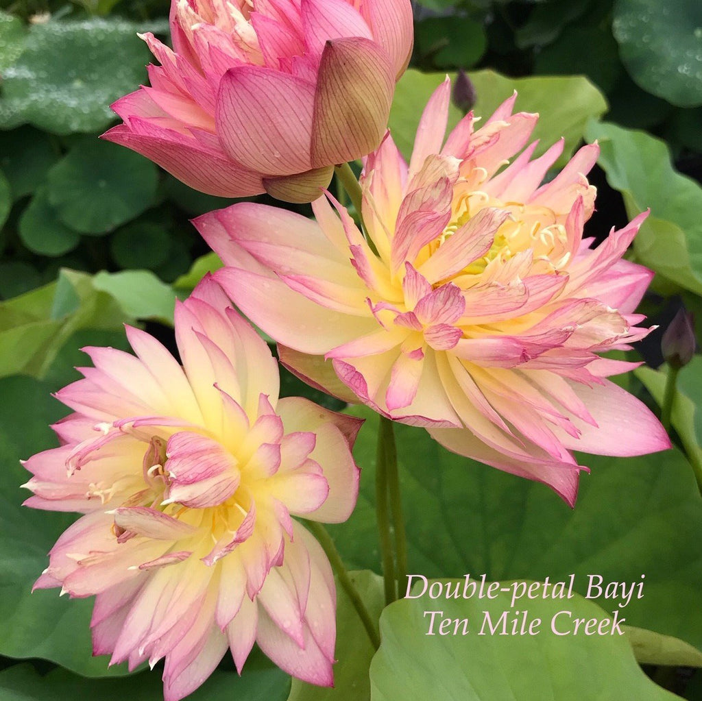 Double-Petal Bayi - Ten Mile Creek Nursery