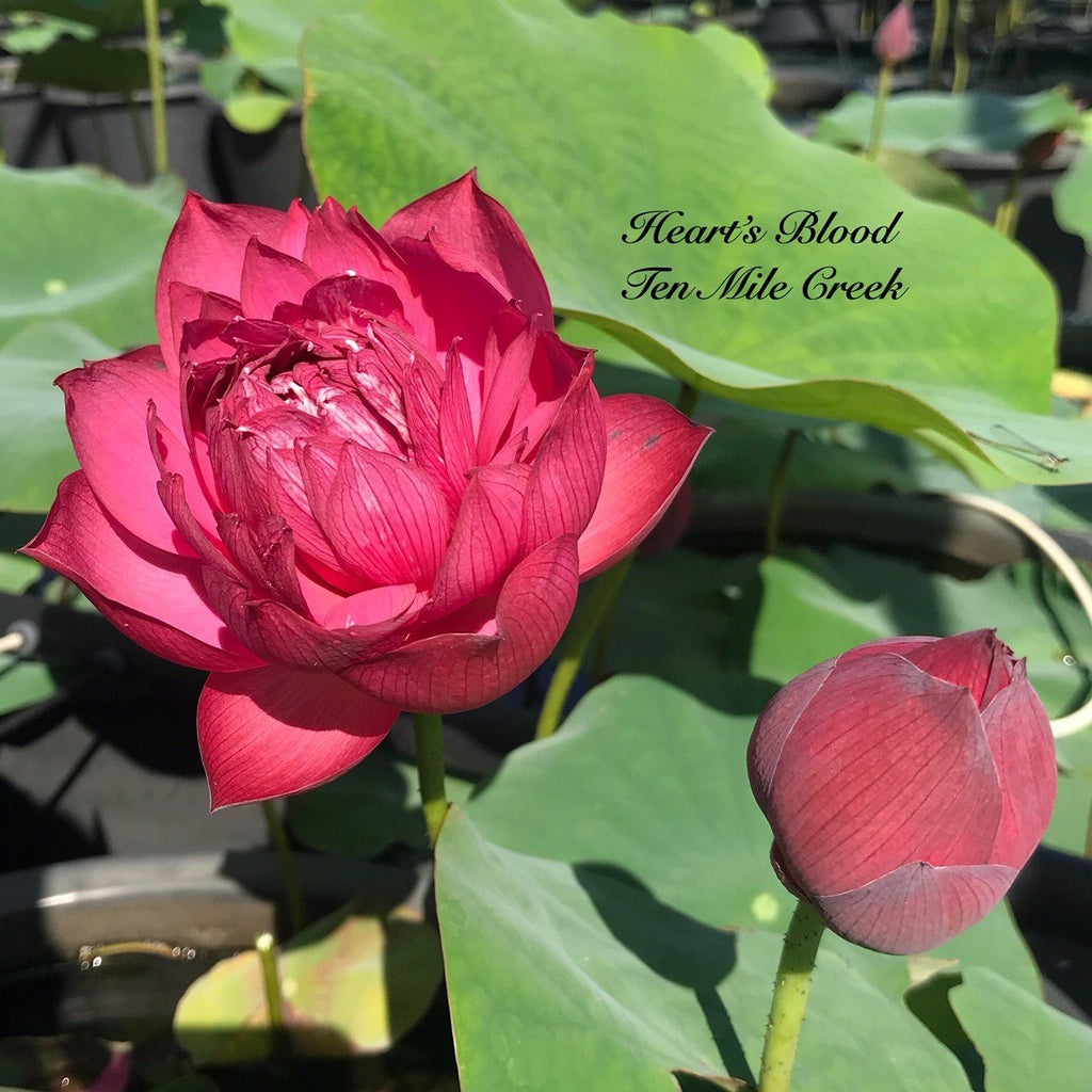 Drop Blood - Ten Mile Creek Nursery