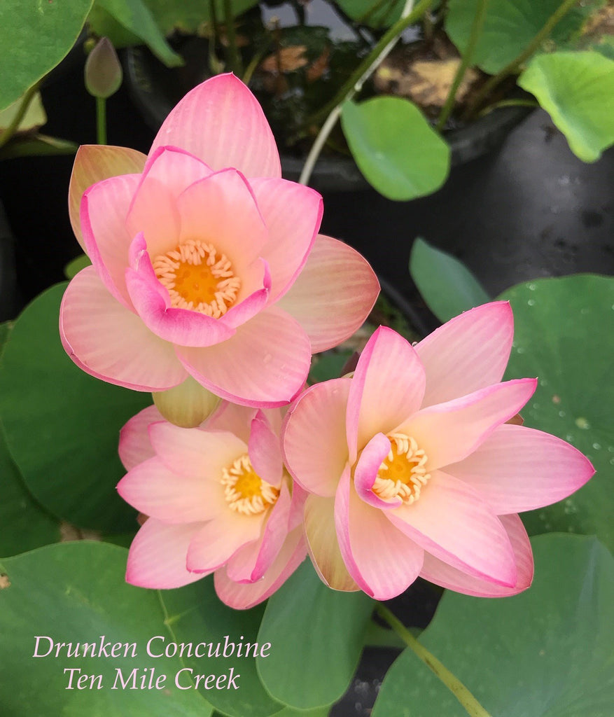 Drunken Concubine - Ten Mile Creek Nursery