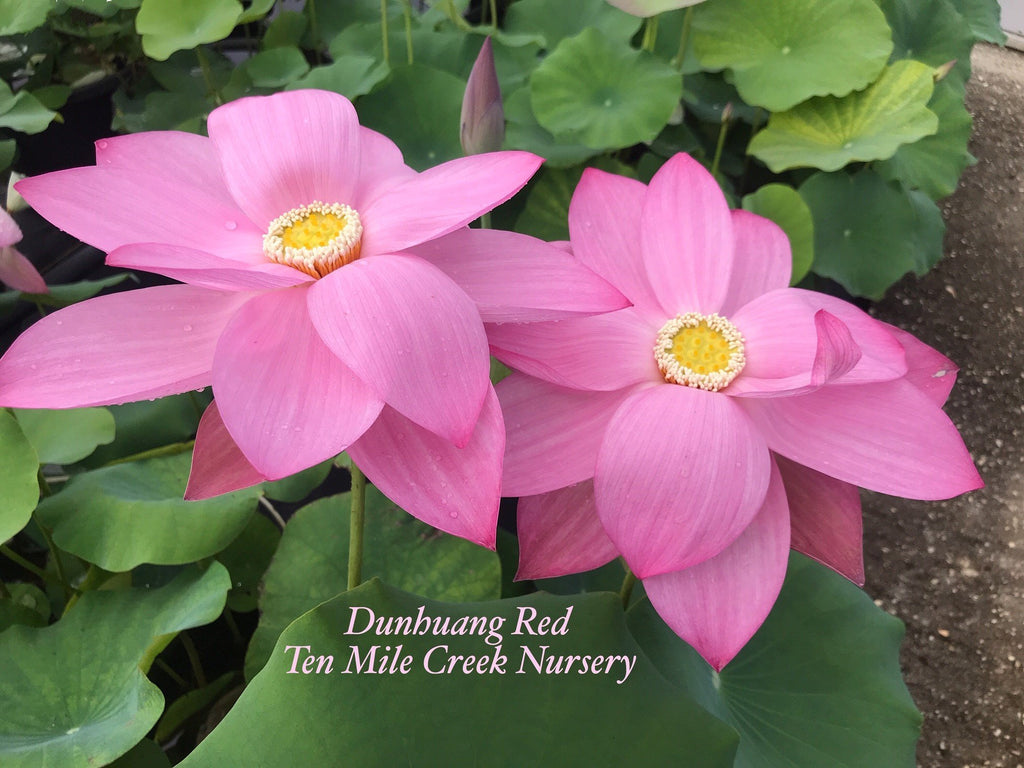 Dunhuang Red - Ten Mile Creek Nursery