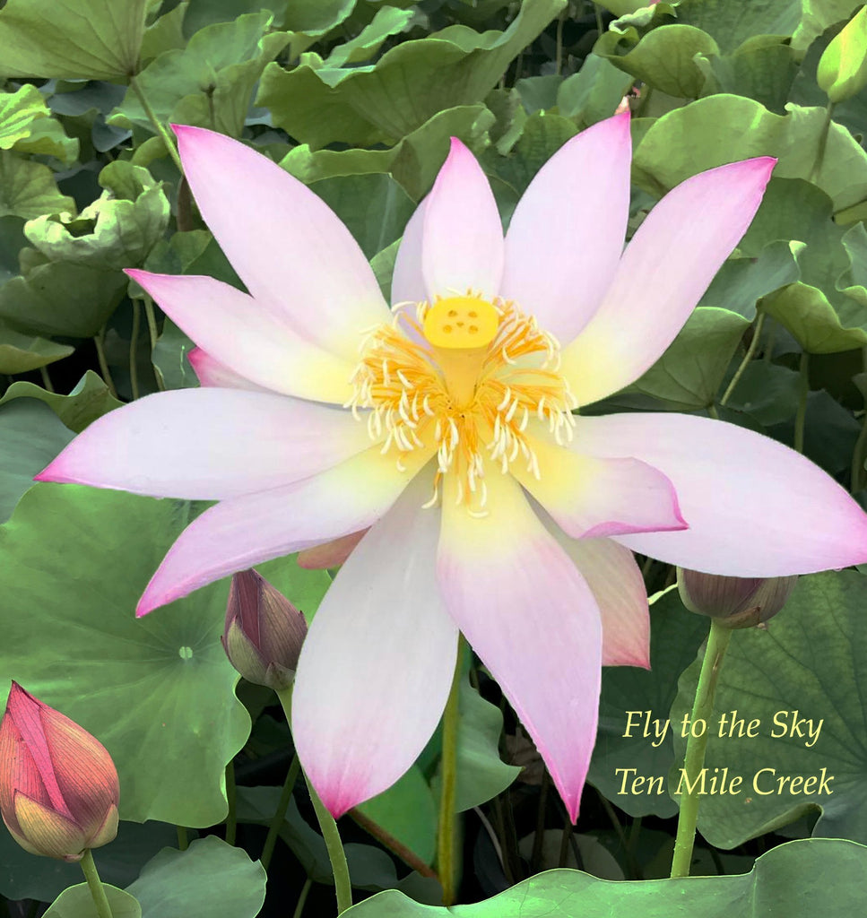 Fly to the Sky - Ten Mile Creek Nursery