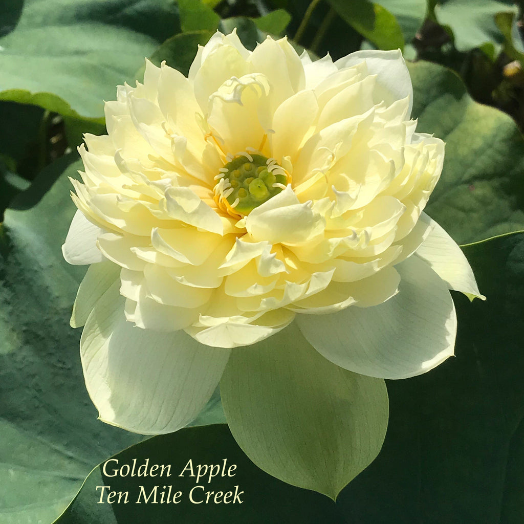 Golden Apple - Ten Mile Creek Nursery