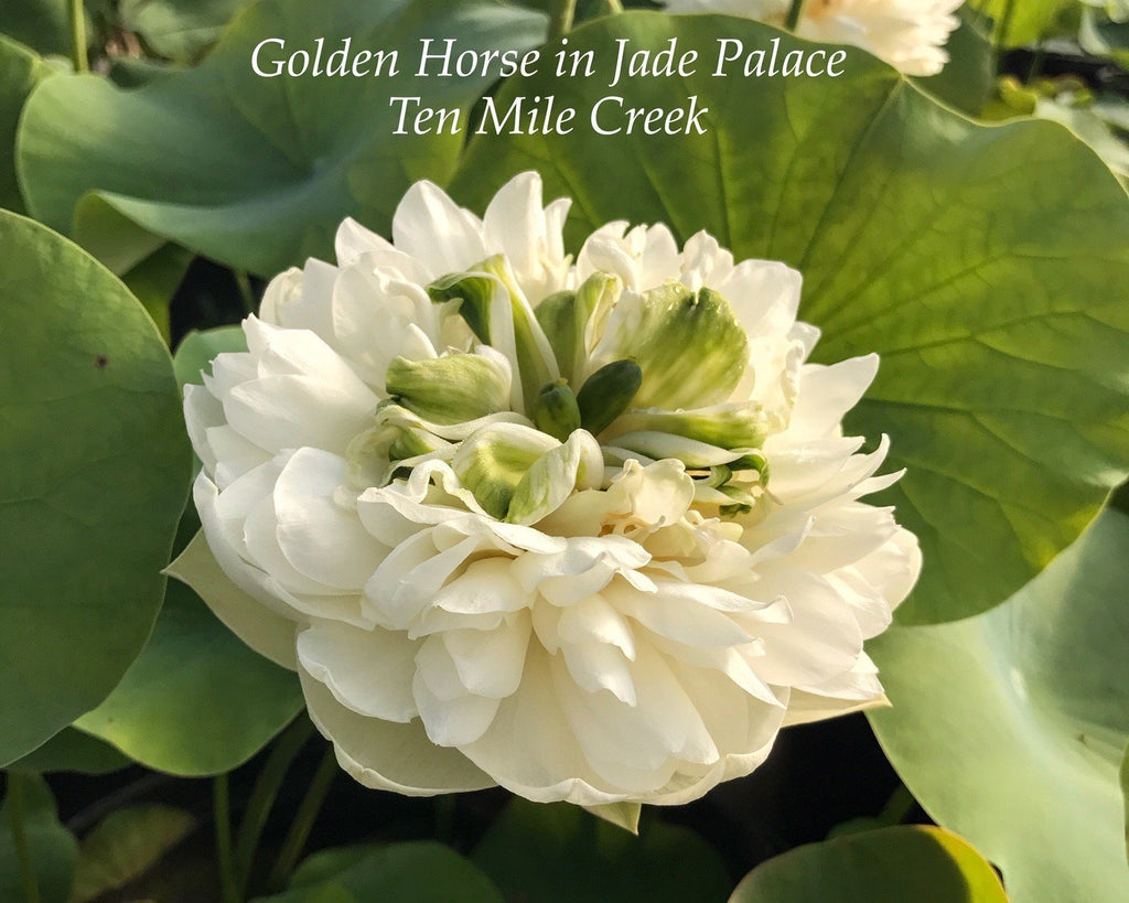 Golden Horse in Jade Palace - Ten Mile Creek Nursery