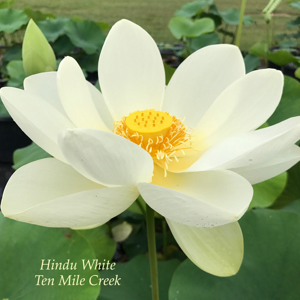 Hindu White - Ten Mile Creek Nursery