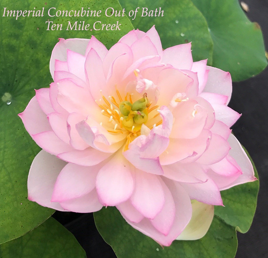 Imperial Concubine Out Of Bath - Ten Mile Creek Nursery