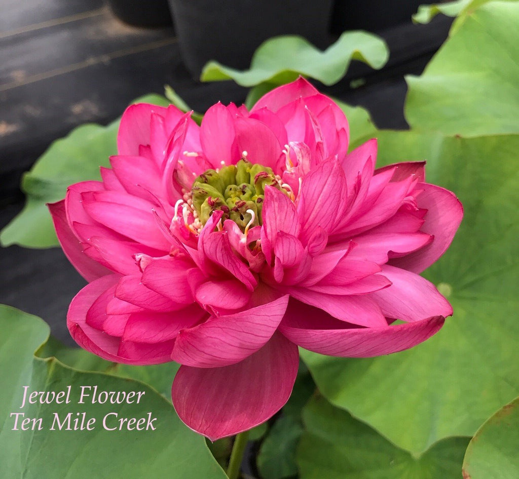 Jewel Flower - Ten Mile Creek Nursery