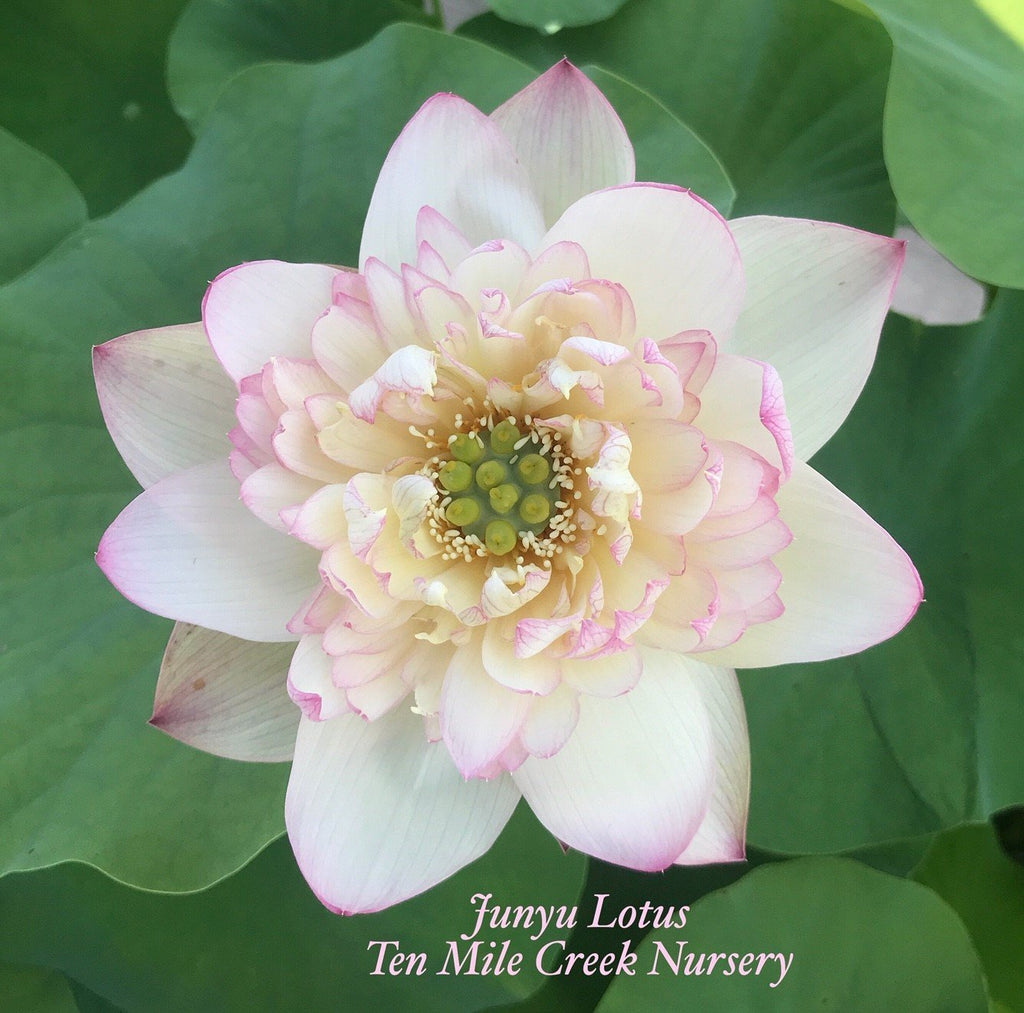 Junyu Lotus - Ten Mile Creek Nursery
