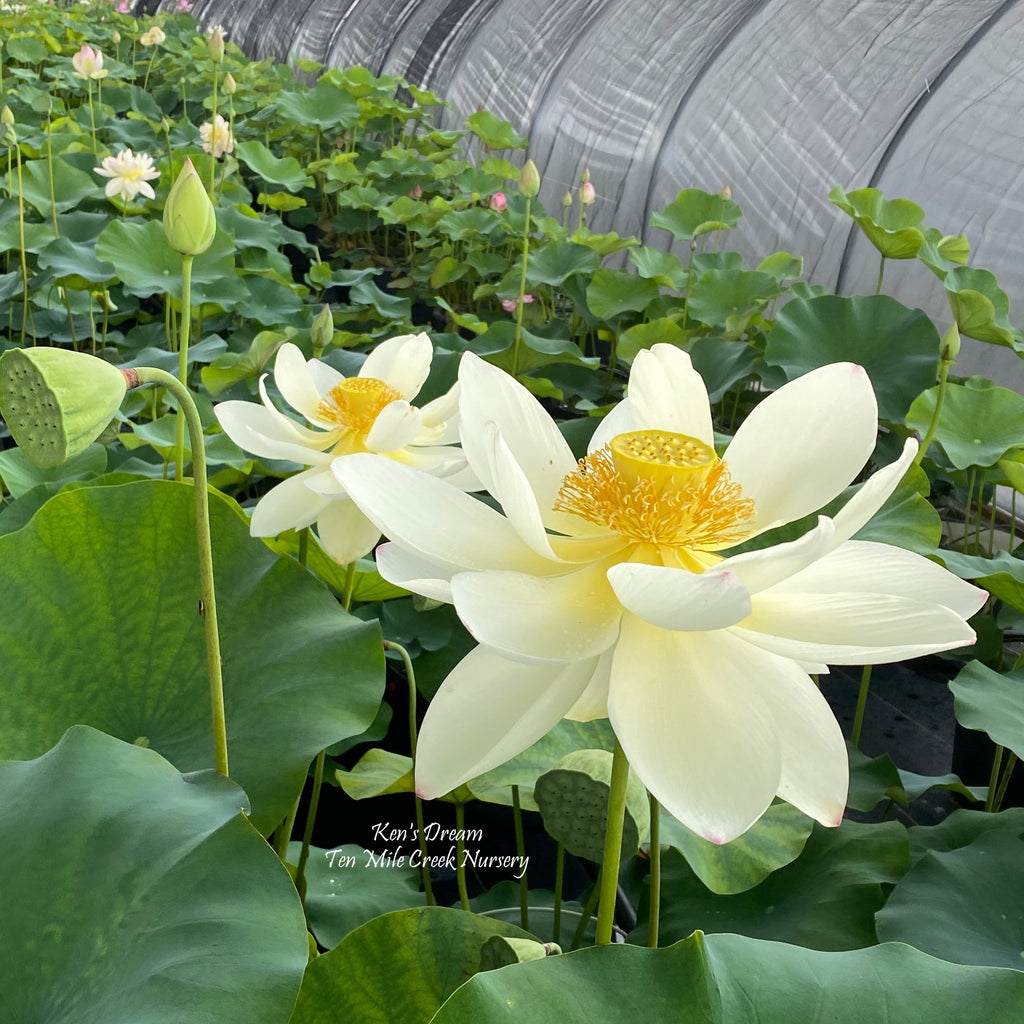 Ken's Dream - Classic beauty with large flowers!! - Ten Mile Creek Nursery
