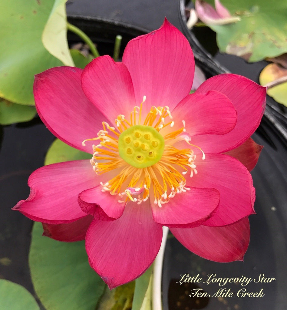 Little Longevity Star - Ten Mile Creek Nursery