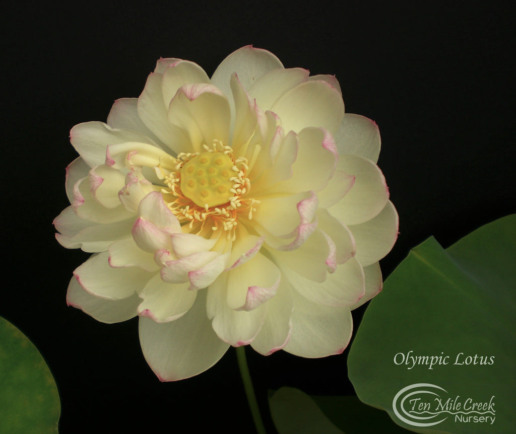 Olympic Lotus - Ten Mile Creek Nursery
