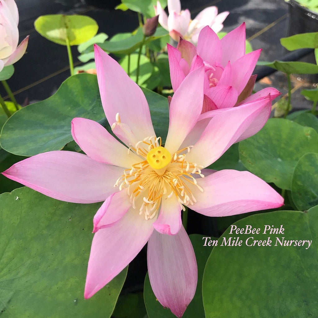 PeeBee Pink Mini Lotus - Ten Mile Creek Nursery