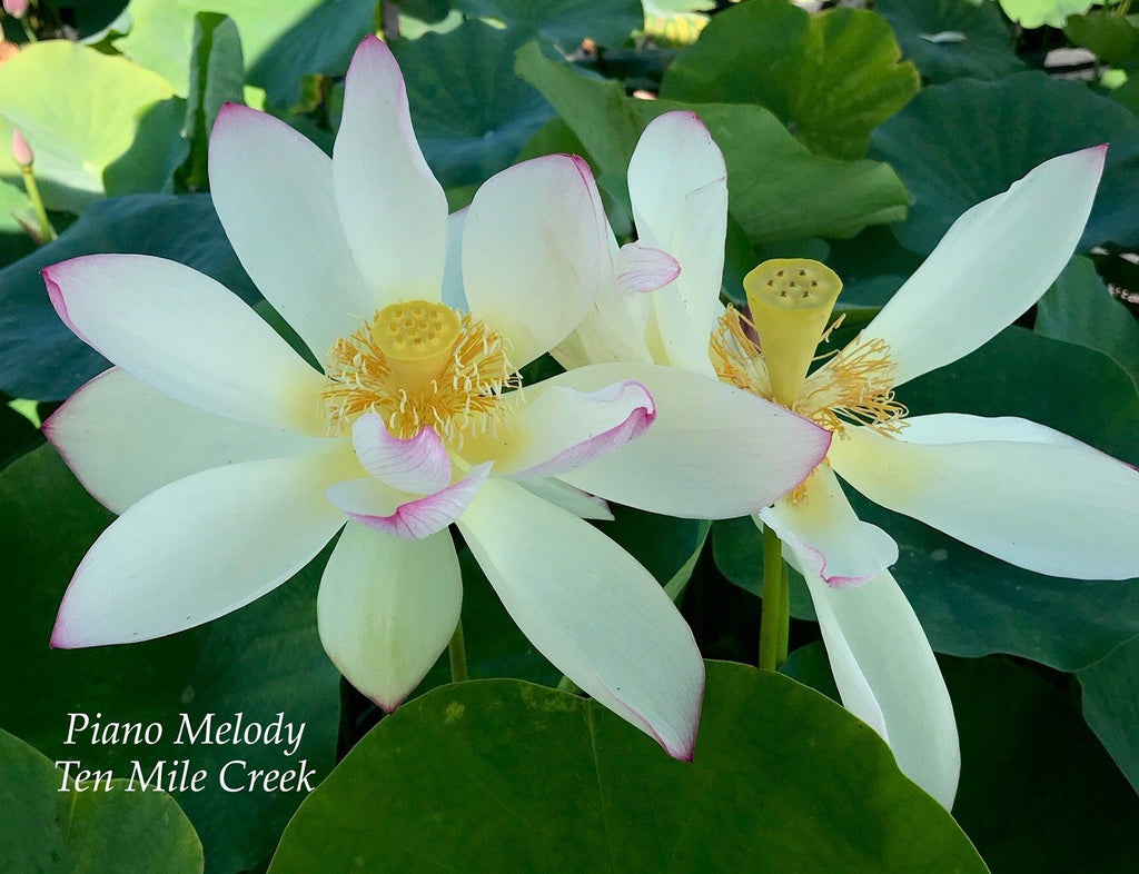 Piano Melody - Ten Mile Creek Nursery