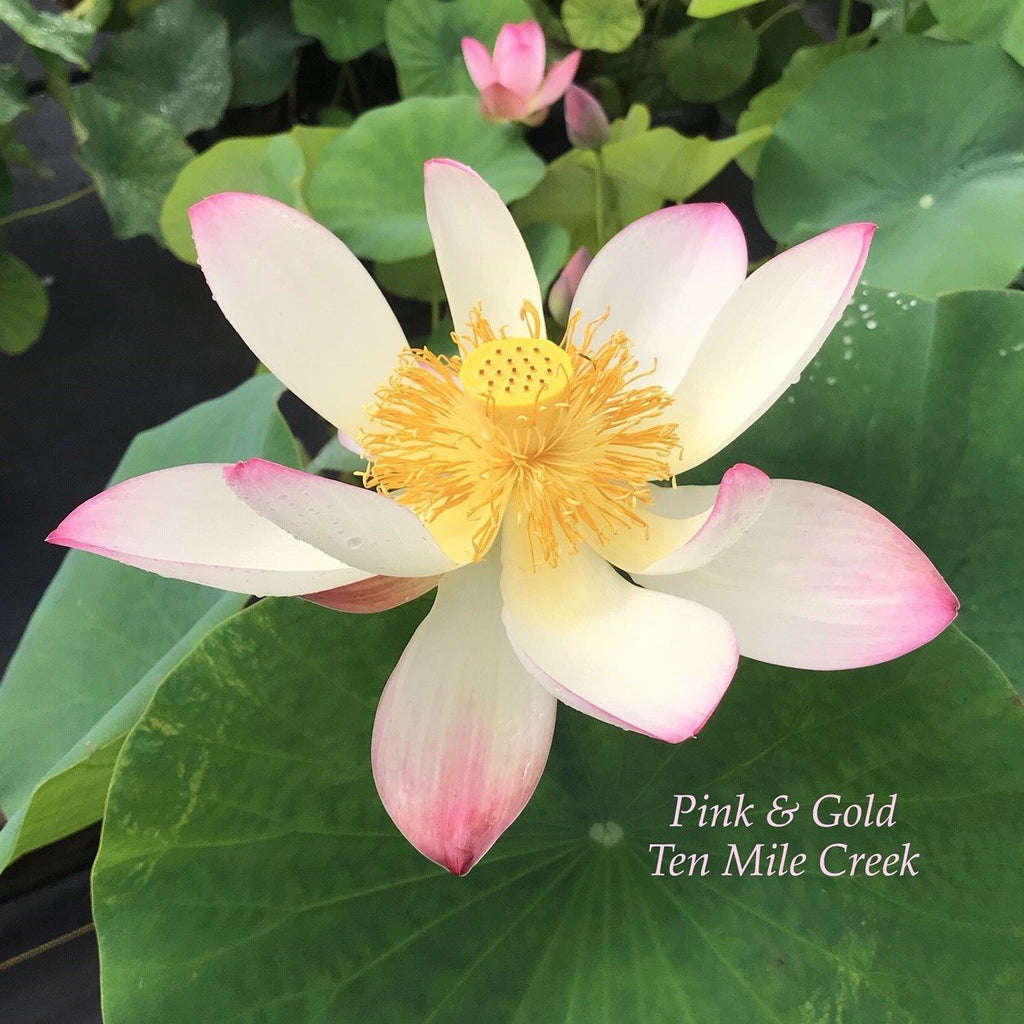 Pink and Gold - Ten Mile Creek Nursery