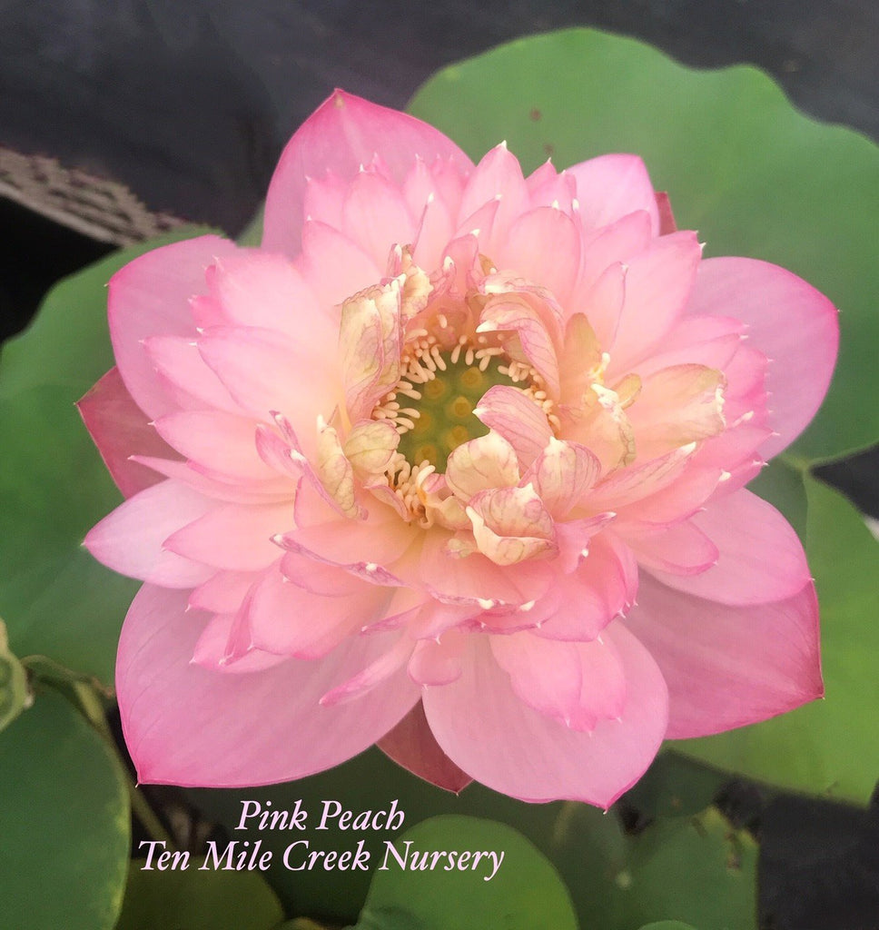 Pink Peach - Ten Mile Creek Nursery