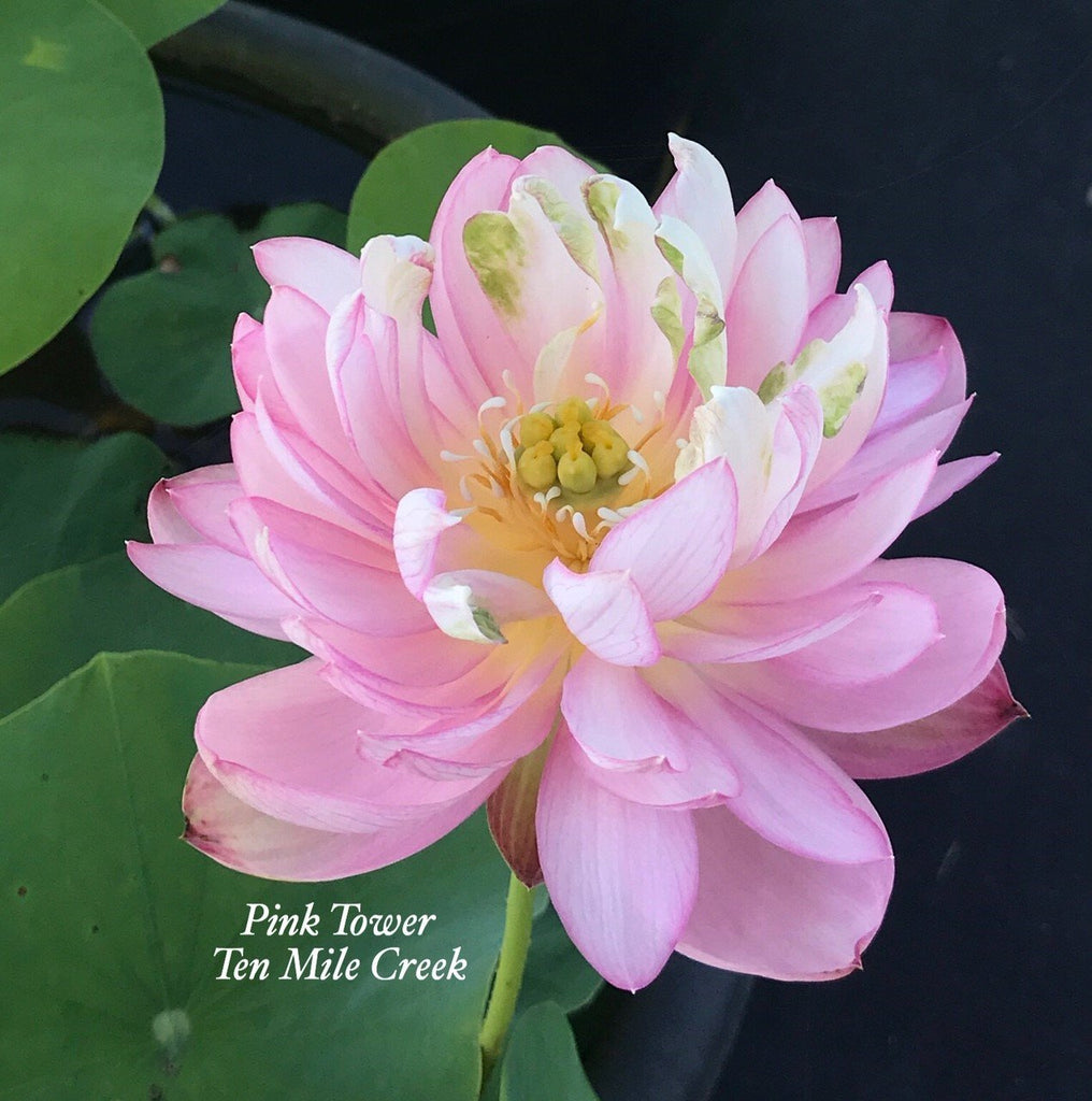 Pink Tower - Ten Mile Creek Nursery
