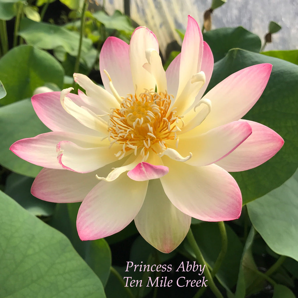 Princess Abby of Ten Mile Creek - Ten Mile Creek Nursery