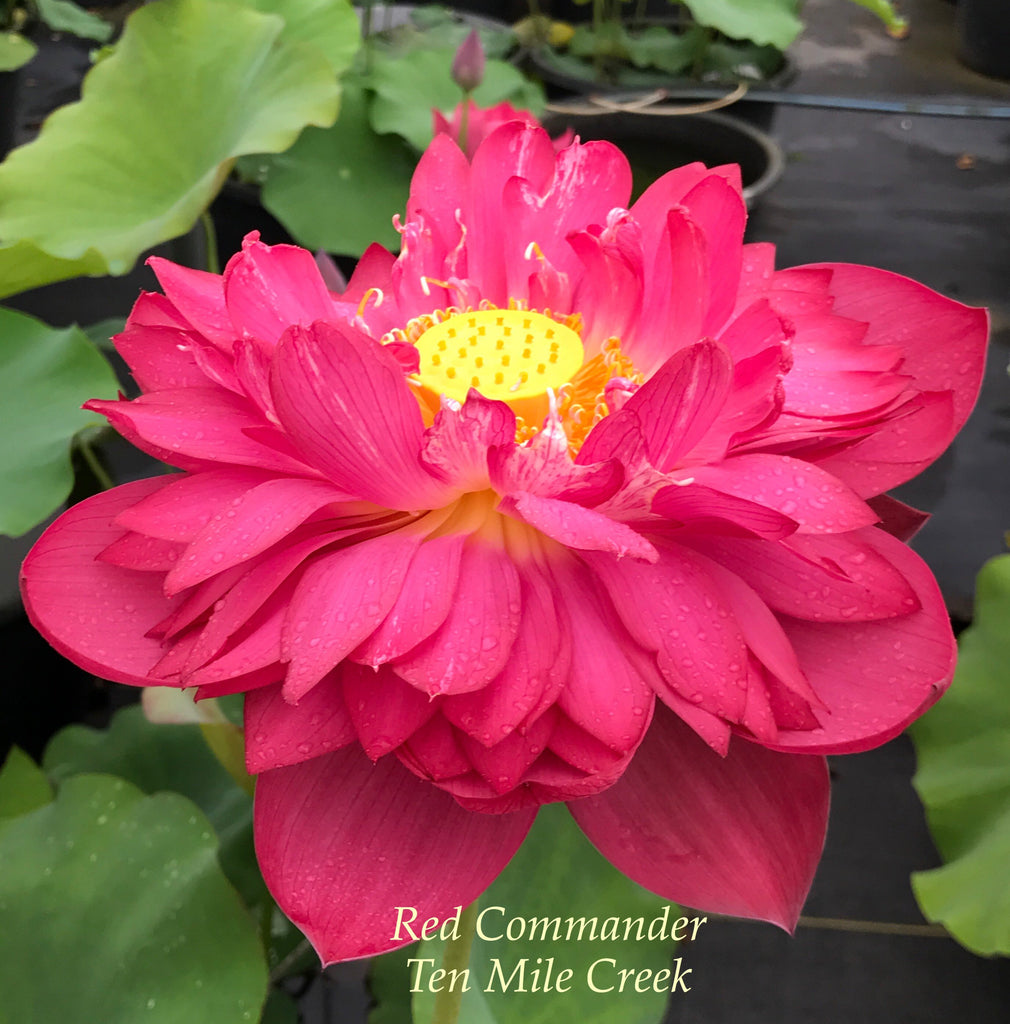Red Commander - Ten Mile Creek Nursery