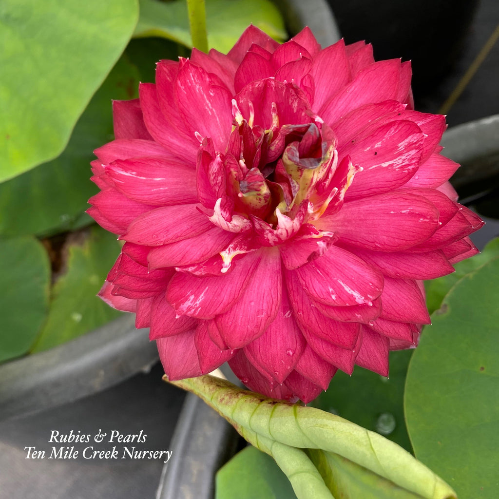 Rubies and Pearls - Deep, Dark Red! - Ten Mile Creek Nursery