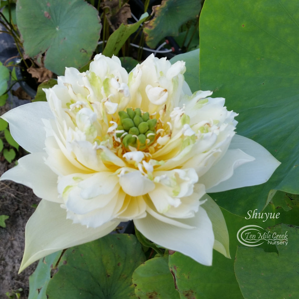 Shuyue Mini Lotus - Ten Mile Creek Nursery