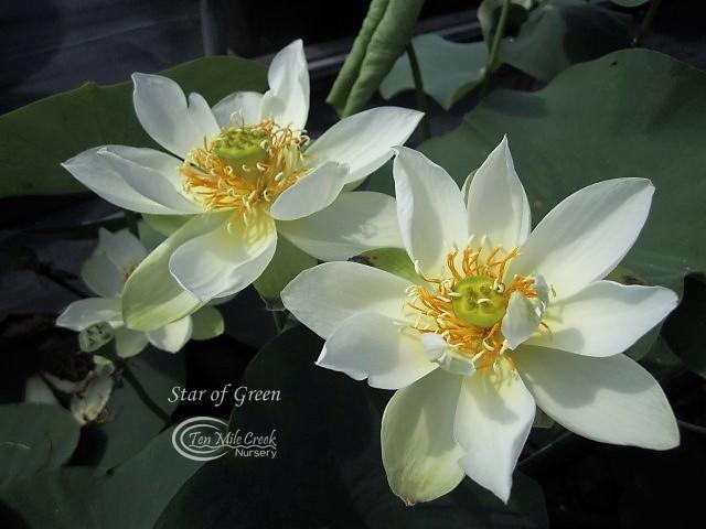 Star of Green - Ten Mile Creek Nursery
