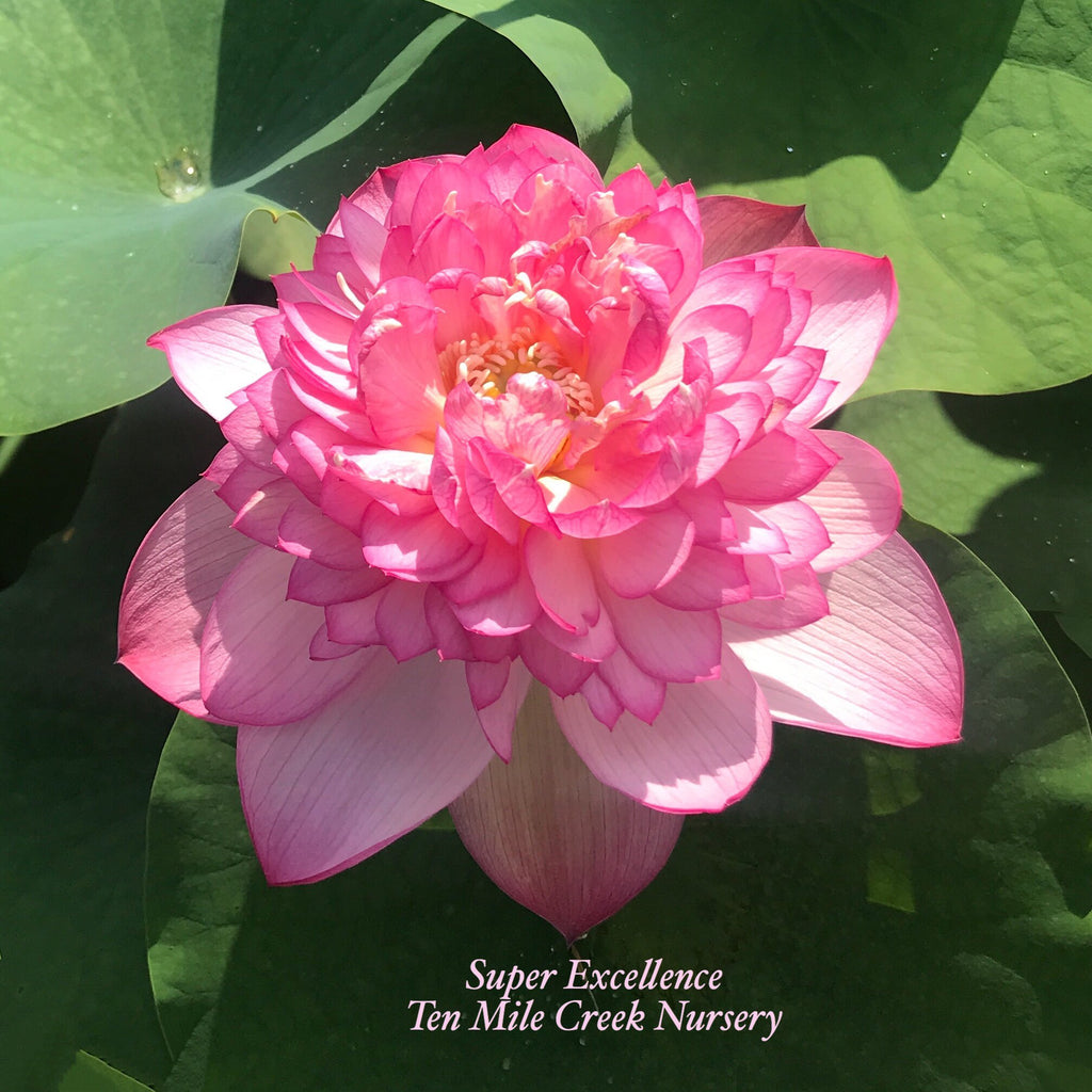 Super Excellence - Ten Mile Creek Nursery