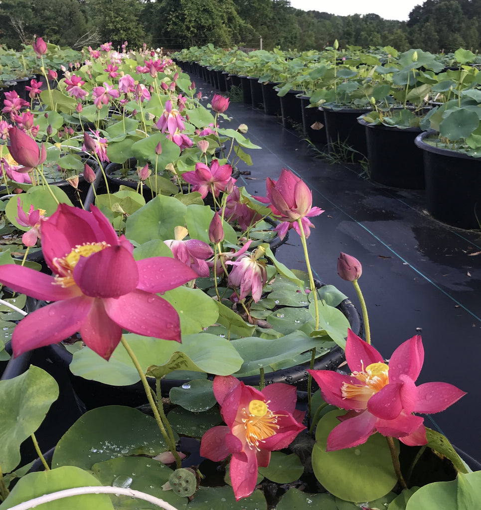 Titan - Ten Mile Creek Nursery