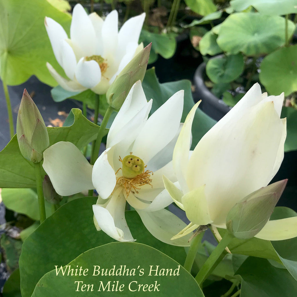 White Buddha's Hand - Ten Mile Creek Nursery
