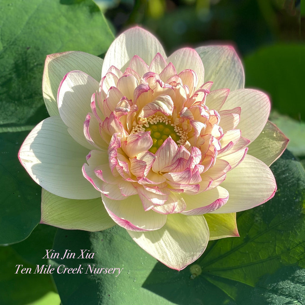 Xin Jin Xia - Too Beautiful for Words! - Ten Mile Creek Nursery