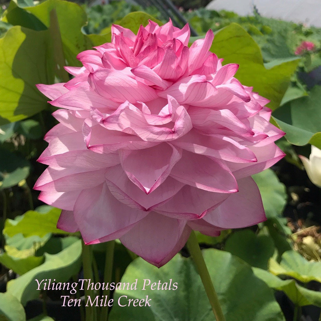 Yiliang Thousand Petals - Ten Mile Creek Nursery