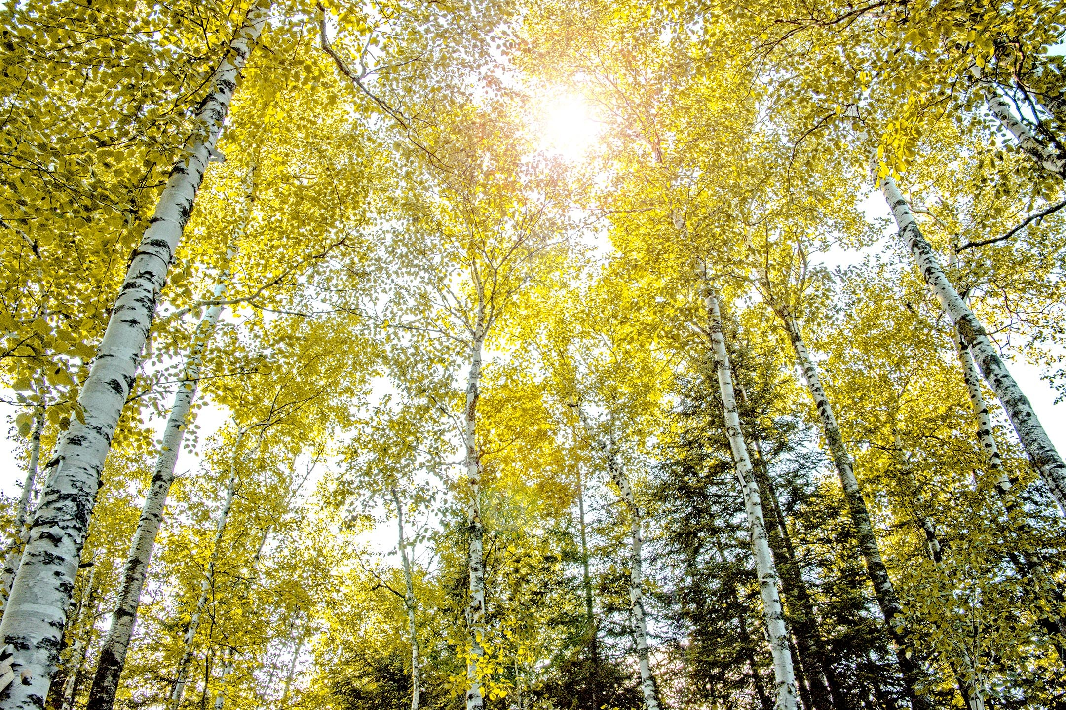 Sunkissed Aspens