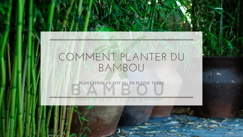 Comment Planter du Bambou