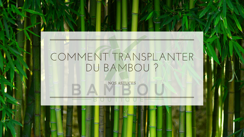 Comment Transplanter du Bambou ?