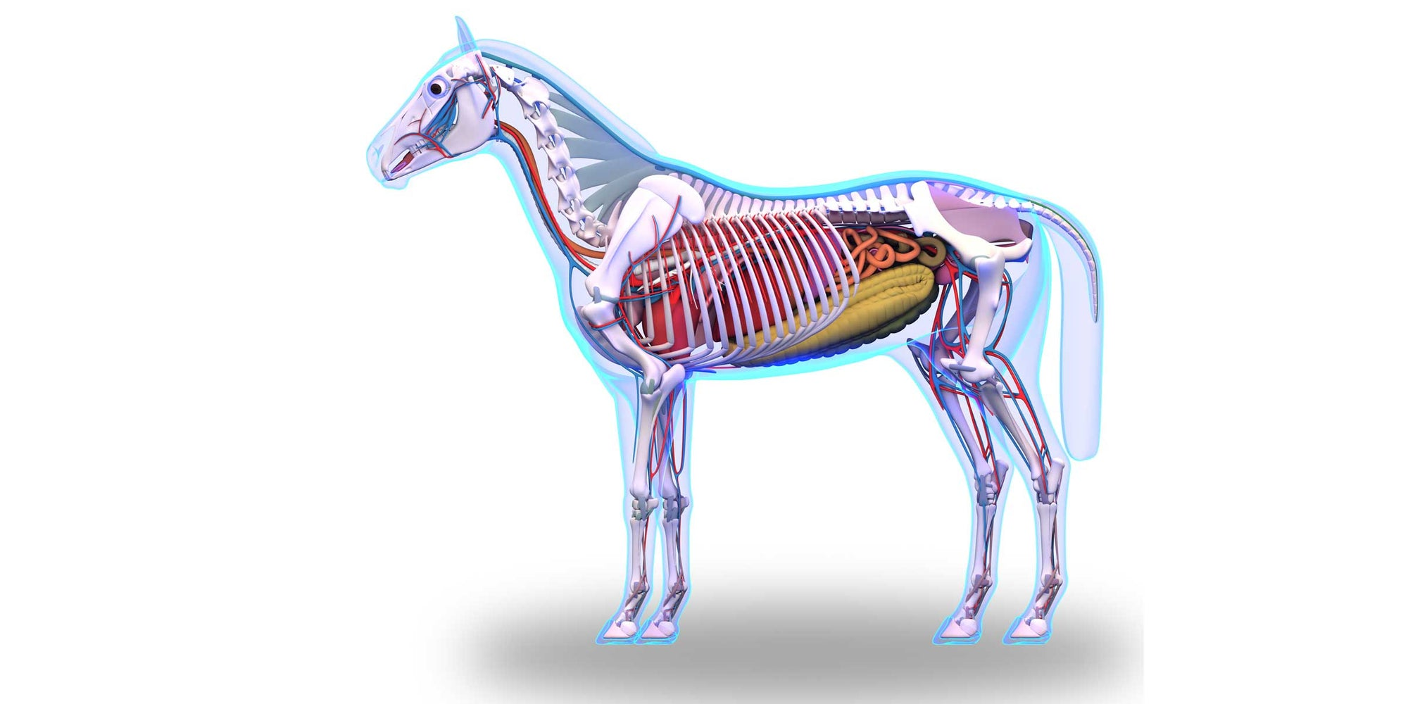 The Equine Microbiome