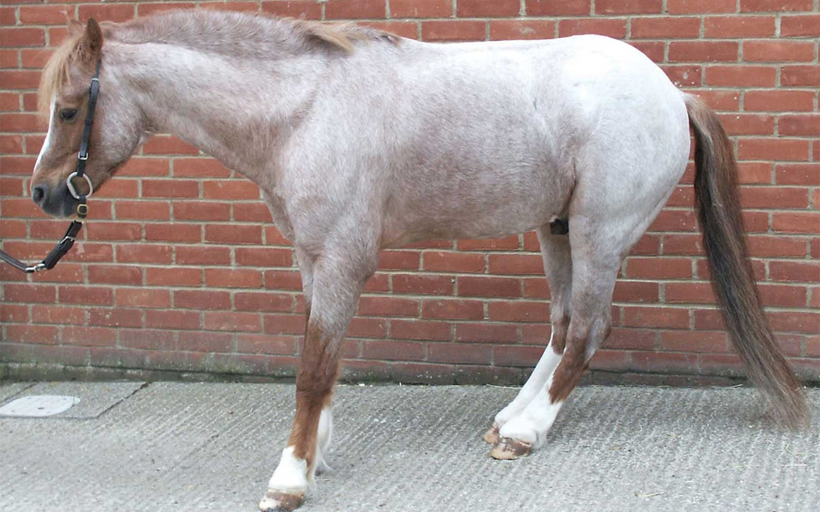 Laminitis - Does My Horse Need Pain Relief?-Missy's Bucket