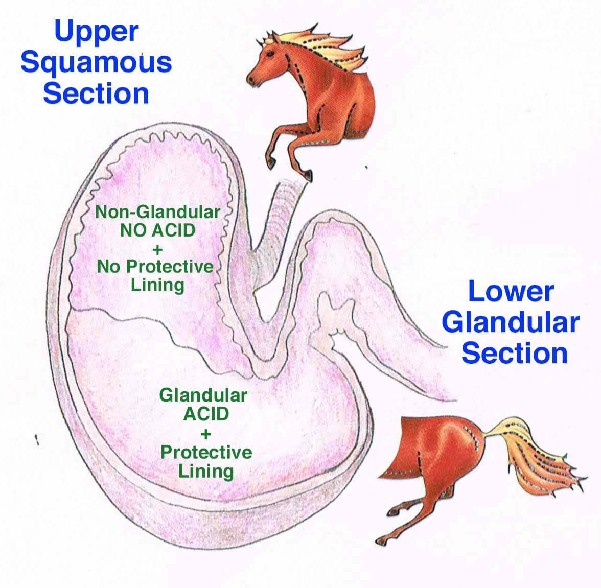Gastic Ulcers In Horses