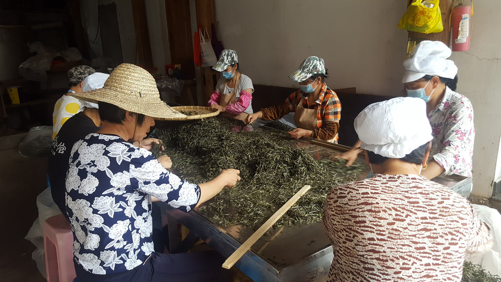From Farm to Cup: White Tea Process Revealed
