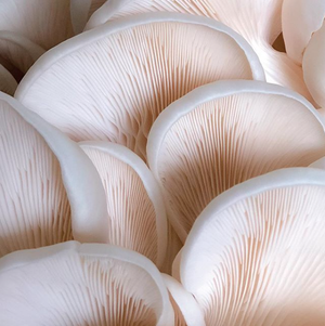 Snow White Oyster Grain Spawn (Pleurotus ostreatus)